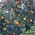 今年は豊作の柑橘類